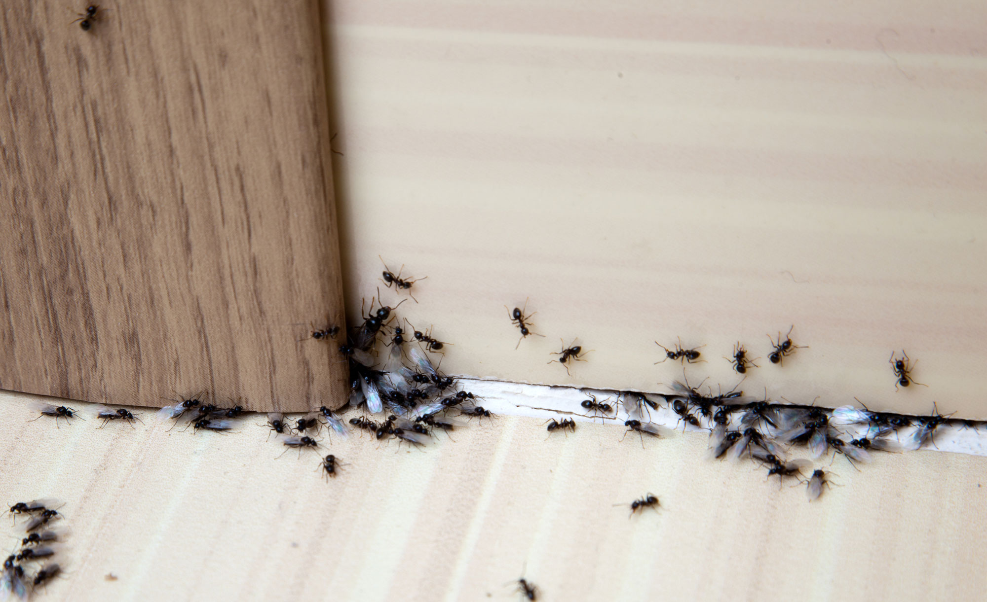 ants coming into house from under door
