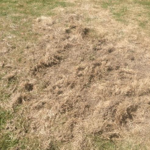 dead grass from grubs