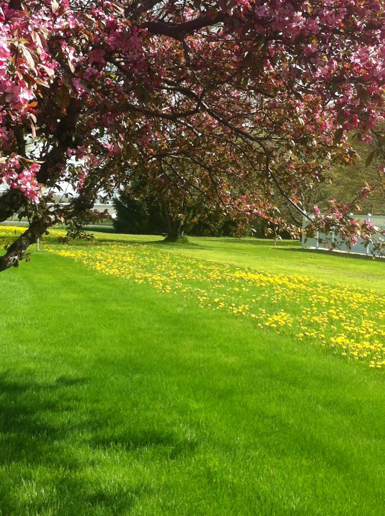 Contrast shot of lawn sprayed (no dandelions) and not sprayed (many dandelions)